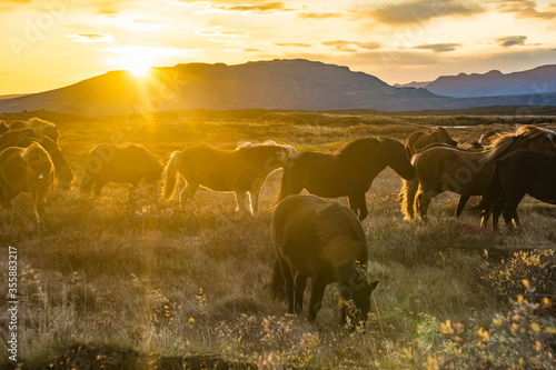 Group of Icelandic Horses in pasture with mountains background. Wallpaper Mural