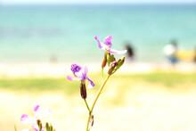 Purple Weed Flowers Blooming On The Beach
