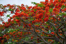 Royal Poinciana Tree Bright Red Colors