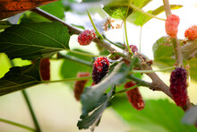 Close Up. Mulberry Is Ripening On The Tree And The Sun Shines Through The Mulberry Fruit