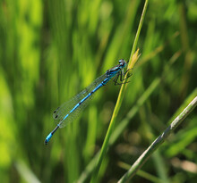 A Close Up Of An Azure Damselfly Scientific Name Coenagrion Puella.