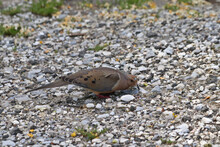Mourning Dove Eating