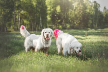 Happy White Dogs Clumber Spaniel On A Green Lawn Meadow Glade Retriever With Bright Colored Pink Tails Play