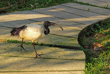 African Sacred Ibis Or Threskiornis Aethiopicus. The Sacred Bird Of Ancient Egypt. White Bird With A Black Head And A Curved Beak.