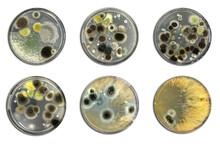 Bacteria On Agar Plate Isolate...
