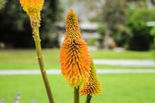 Orange Spiked Plant At Botanic...
