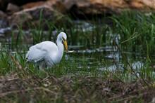 Great Egret Catching Fish Standing  In Ocean Water