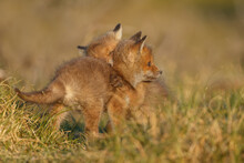 Red Cubs In Springtime Playing In Nature