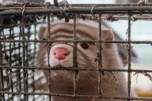 Mink Farm. Mink In The Cage. Mink's Fur