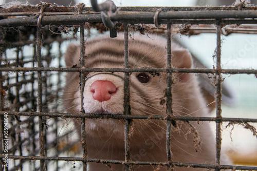 Fotografie, Obraz Mink farm. Mink in the cage. Mink's fur
