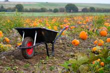 Wheelbarrow In A Farm Field Full Of Pumpkins And Squashes In Autumn