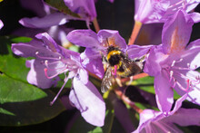 Bee Pollinating Rhododendron Flowers In A Garden During Spring