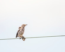 Northern Mockingbird (Mimus Polyglottos) Perches On A Wire During A Light Wind, Los Angeles, CA.