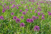 A Meadow Full Of Purple Garlic Flowers