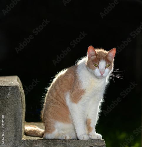 Feral Tabby Cat (Felis Catus)
