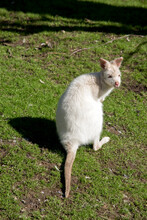 The Albino Wallaby Is Resting ...