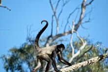 The Spider Monkey Is Climbing On A Rope
