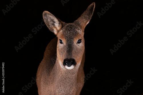 Tableau sur Toile Portrait of a ROE deer