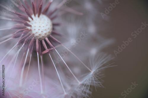 Fototapety, obrazy: Dandelion in the macro world