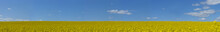 Panorama View Of Yellow Rapeseed Field On Blue Sky On Bright Sunny Day In Early Summer