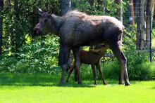 Moose Cow Calf Anchorage Alaska