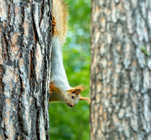 Squirrel Runs Through The Trees In The Pine Forest In Search Of Food