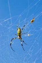 Joro Spider (Nephila Clavata) ...
