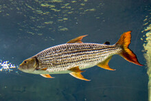 An African Tigerfish In The Water.  The African Tigerfish Is Overall Silvery In Colour, With Thin Black Stripes Running Horizontally. Its Head Is Large, As Well As Its Teeth.