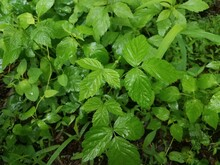Wet Green Poison Ivy Plant