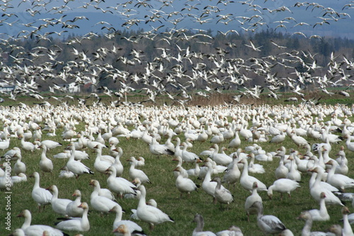 Valokuva A thunderous gaggle of snow geese