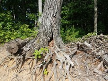 Decomposing Tree With Roots Exposed