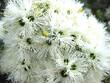 canvas print picture - Beautiful flowering gum tree in Australia