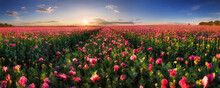 Panorama Landscape Of Poppy Pu...