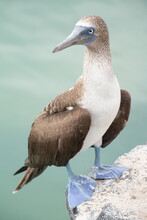 Blue-footed Booby Bird Galapag...