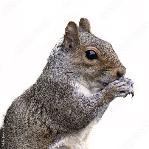 close up half length profile portrait of a grey squirrel with its paws to its mouth feeding Fototapet