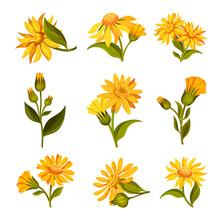 Arnica Yellow Or Orange Flower...
