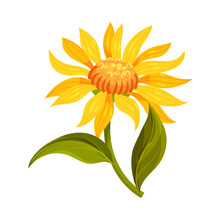 Mountain Arnica Or Arnica Mont...