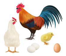 Chicken Realistic. Adult Chick Domestic Farm Animals Rooster Hens Vector Illustrations Of Birds. Chick And Rooster, Farm Bird, Poultry Hen