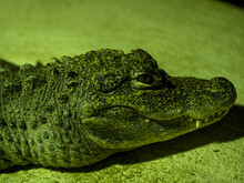 Portrait Of A Rare Chinese Alligator, Alligator Sinensis, Who Lives In China On The Jagtse River