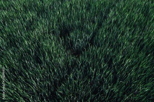 Obraz Green wheat field, high angle view aerial photography - fototapety do salonu
