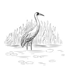 Whooping Crane In Wild Nature ...