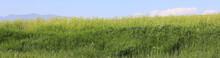Green Field With Tall Grass An...
