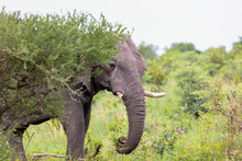 An African Elephant Emerges Fr...