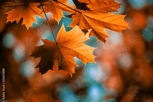 Fotografia Red maple leaves on the branches