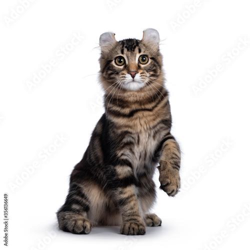 Vászonkép Adorable black tabby blotched American Curl cat kitten, sitting side ways