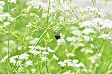 Dark Beetle Sits On A White Flower