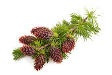 Larch Branch With Flowers