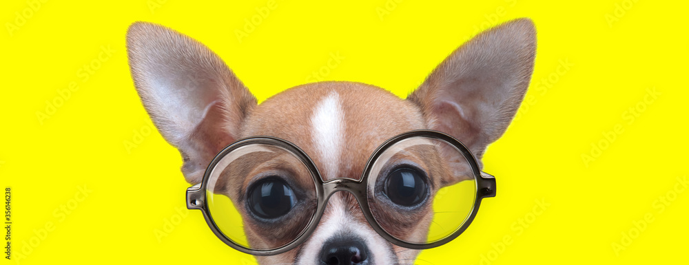 curious chihuahua puppy with big eyes wearing glasses