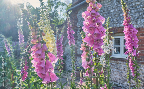 Pink and White foxgloves in a cottage garden Canvas Print