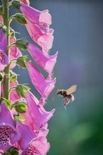 Pink Foxglove Closeup With Bumblebee